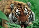 27 сентября - День тигра на Дальнем Востоке