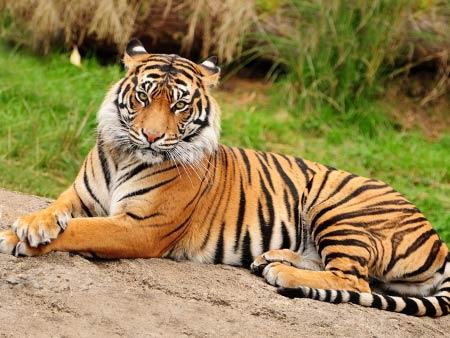 Праздник 29 июня – Международный день тигра