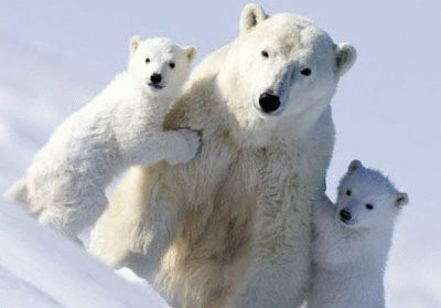 Праздник 27 февраля - День белого медведя